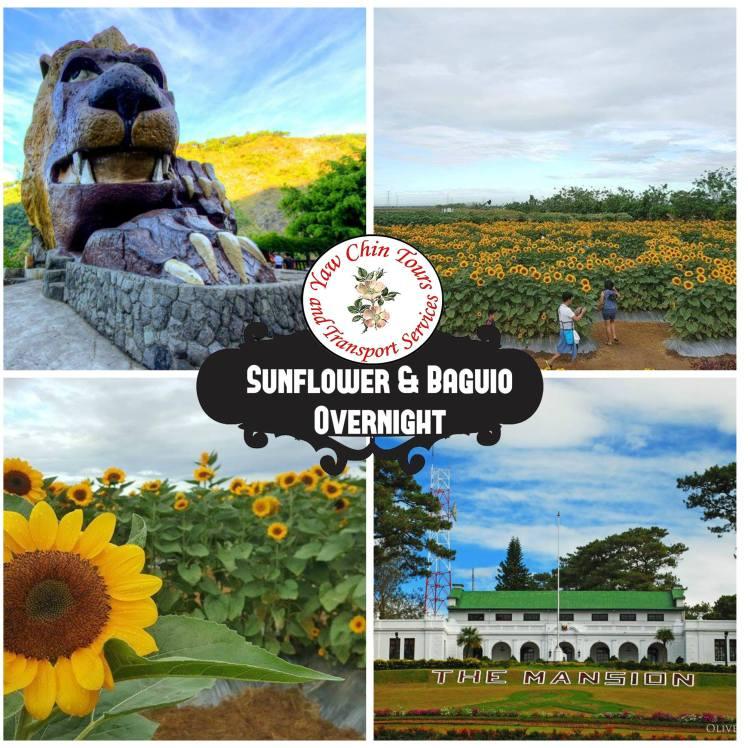 sunflower_baguio